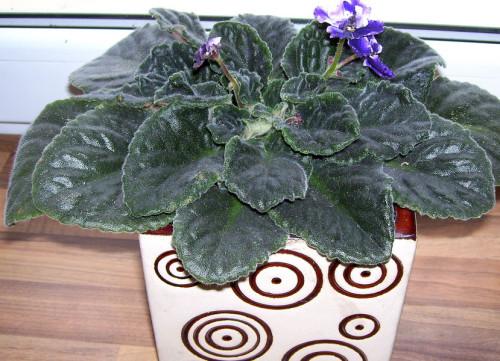 usambaraveilchen saintpaulia ionantha pflanzen enzyklop die. Black Bedroom Furniture Sets. Home Design Ideas