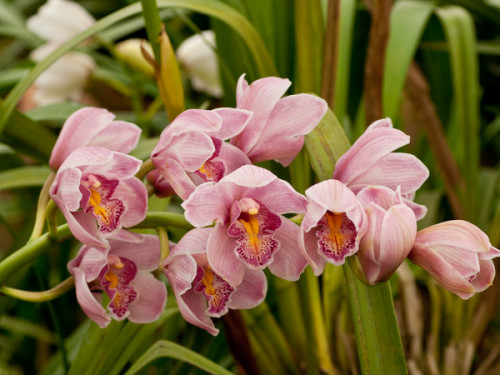 dendrobium orchidee dendrobium nobile pflanzen. Black Bedroom Furniture Sets. Home Design Ideas