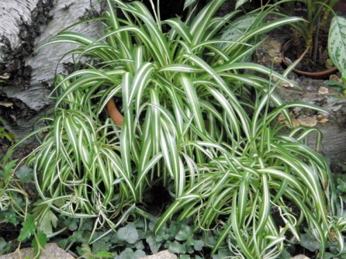 Grünlilie (Chlorophytum comosum) 'Vittatum'  Pflanzen ...