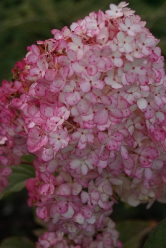 rispenhortensie hydrangea paniculata vanille fraise. Black Bedroom Furniture Sets. Home Design Ideas