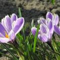 Frühlings-Krokus Pickwick