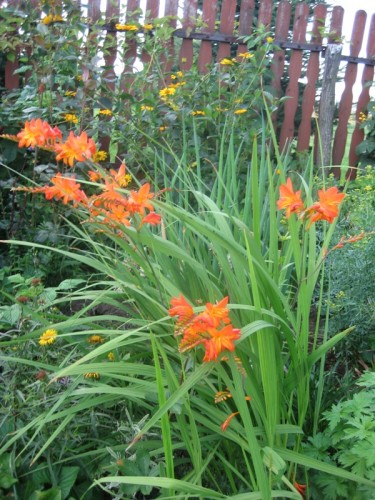 garten montbretie crocosmia x crocosmiiflora pflanzen. Black Bedroom Furniture Sets. Home Design Ideas