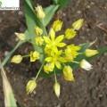 Gelber Zierlauch