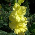 Gladiole Morning Gold