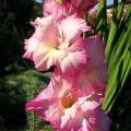 Gladiole Priscilla