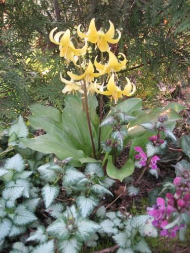 hundszahn erythronium hybrida 39 pagoda 39 pflanzen enzyklop die. Black Bedroom Furniture Sets. Home Design Ideas