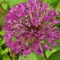 Iranlauch Purple Sensation