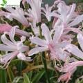 Kleine Gartenamaryllis