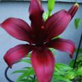 Lilie - Asiatische Hybride Dimension