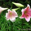Lilie Pink Heaven