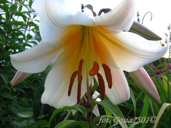 Orienpet-Lilie Garden Affaire