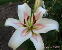 Orienpet lilie bonbini for Blumenerde ohne fliegen