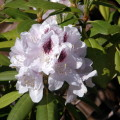 Rhododendron Calsa