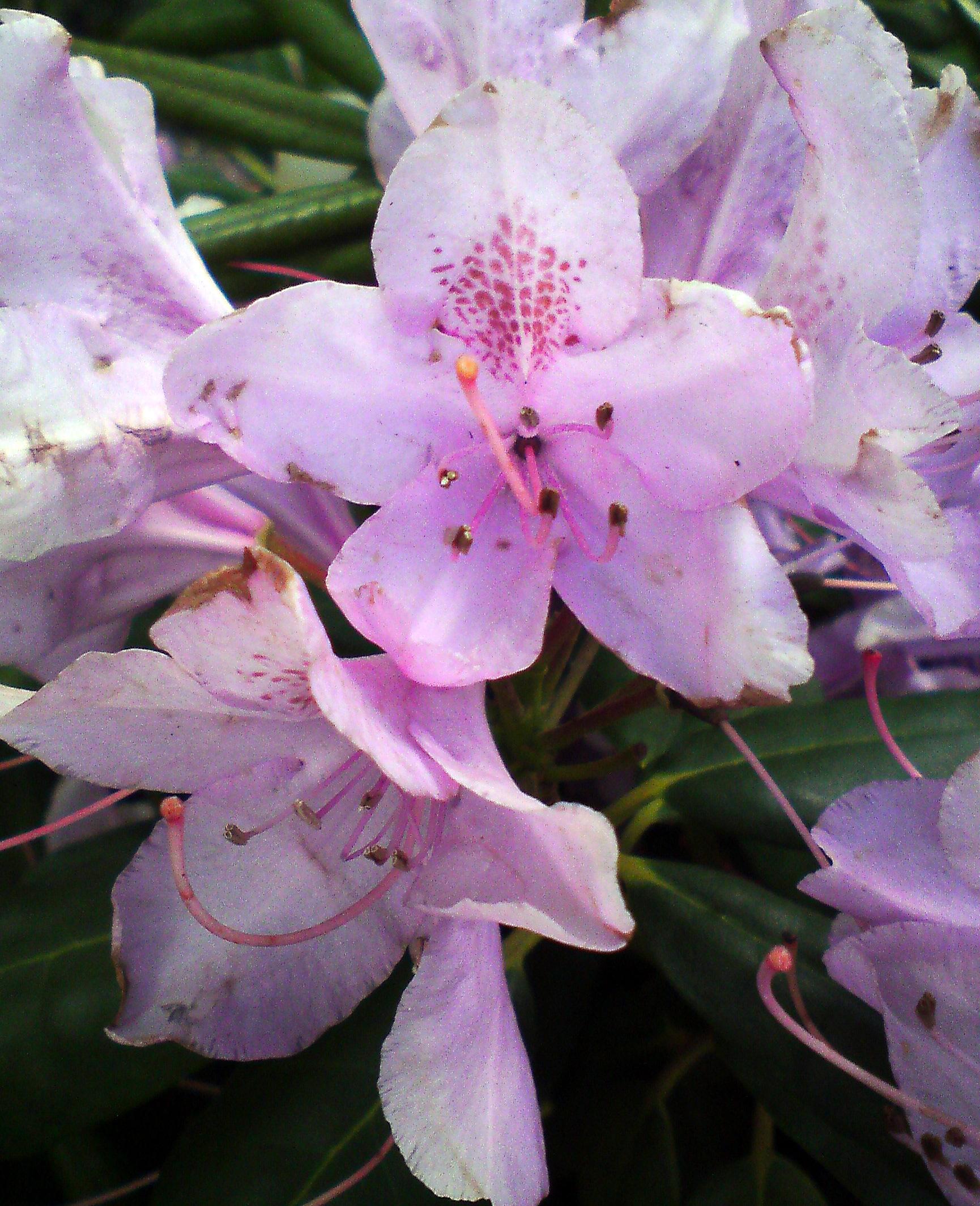 rhododendron rhododendron catawbiense 39 roseum elegans 39. Black Bedroom Furniture Sets. Home Design Ideas