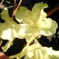 Rhododendron Wardii Goldbukett