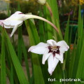 Sterngladiole