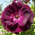 Vielblütige Rose Burgundy Iceberg