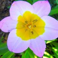 Felsen-Tulpe Lilac Wonder