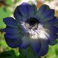 Garten-Anemone Mr Fokker