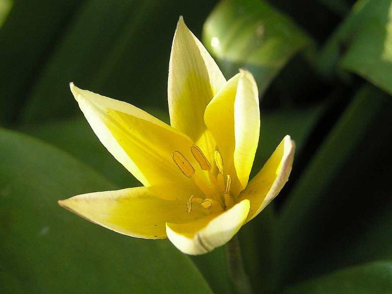 Tarda Tulpe