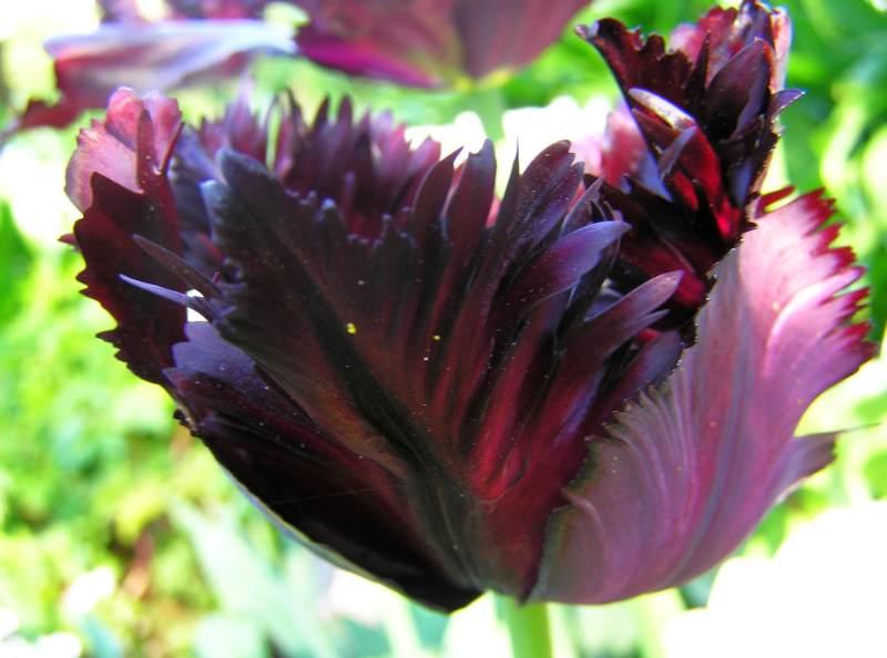 Tulpe Black Parrot