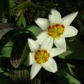 Tulpe Ancilla