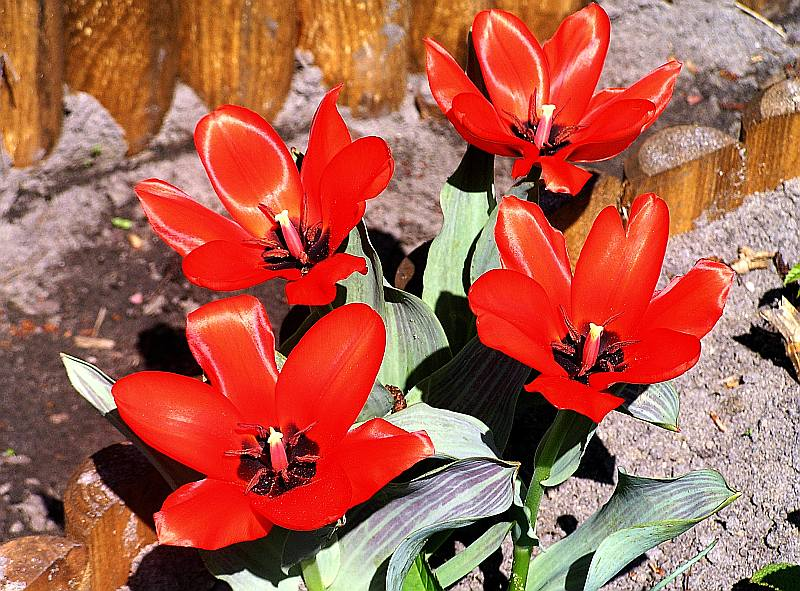 Tulpe Red Riding Hood