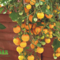 Tomate Lemon Clusters