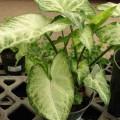 Purpurtute, Syngonium White Butterfly