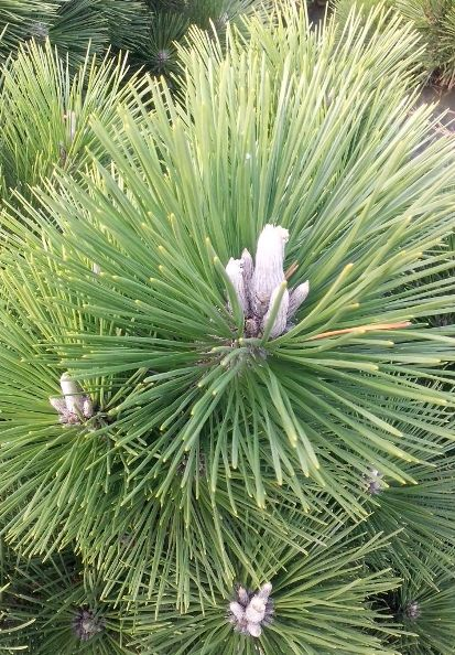 Japanische schwarzkiefer pinus thunbergii thunderhead - Japanische zimmerpflanzen ...