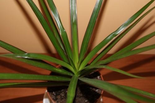 drachenbaum dracena marginata pflanzen enzyklop die. Black Bedroom Furniture Sets. Home Design Ideas
