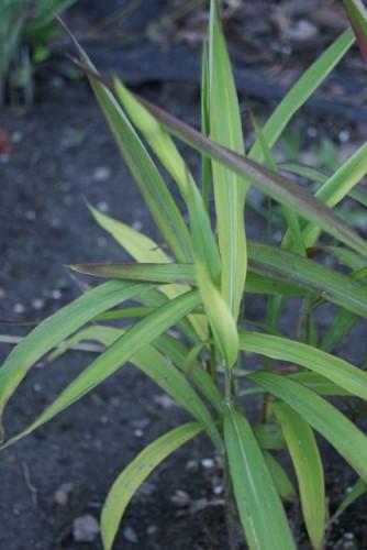 graubartgras spodiopogon sibiricus pflanzen enzyklop die. Black Bedroom Furniture Sets. Home Design Ideas