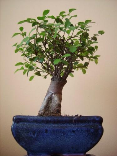 chinesische ulme ulmus parvifolia pflanzen enzyklop die. Black Bedroom Furniture Sets. Home Design Ideas