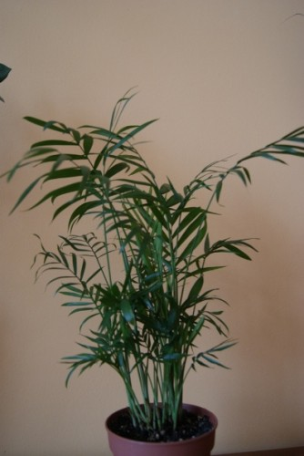 Chamaedorea Elegans Pflege : bergpalme chamaedorea elegans pflanzen enzyklop die ~ Frokenaadalensverden.com Haus und Dekorationen