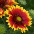 Kurzlebige Kokardenblume