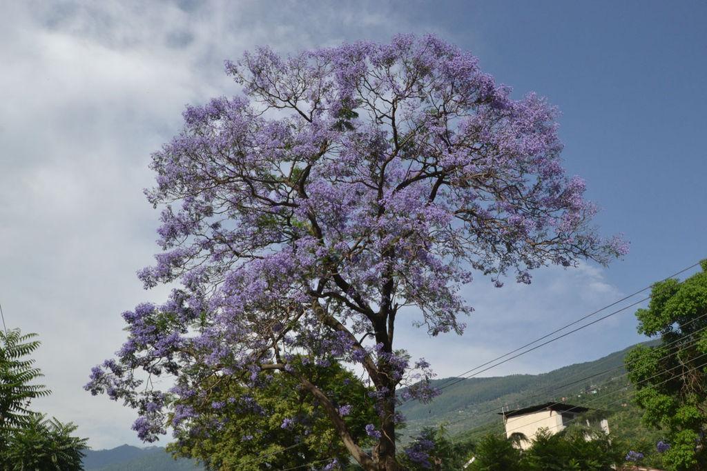 Palisanderholzbaum