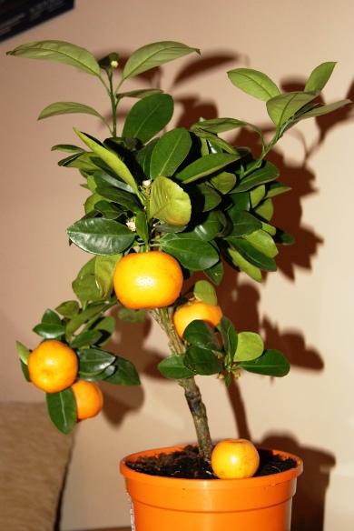 Mandarine Blanco