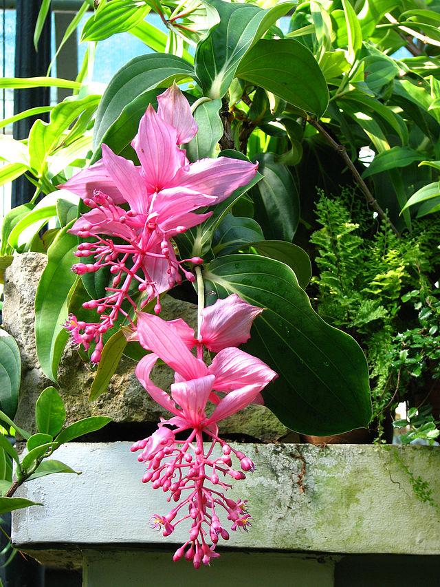 Medinilla medinilla magnifica for Pflanzen zimmerpflanzen