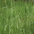 Wald-Flattergras