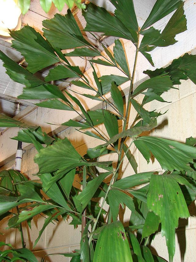 Fischschwanzpalme (Caryota mitis)