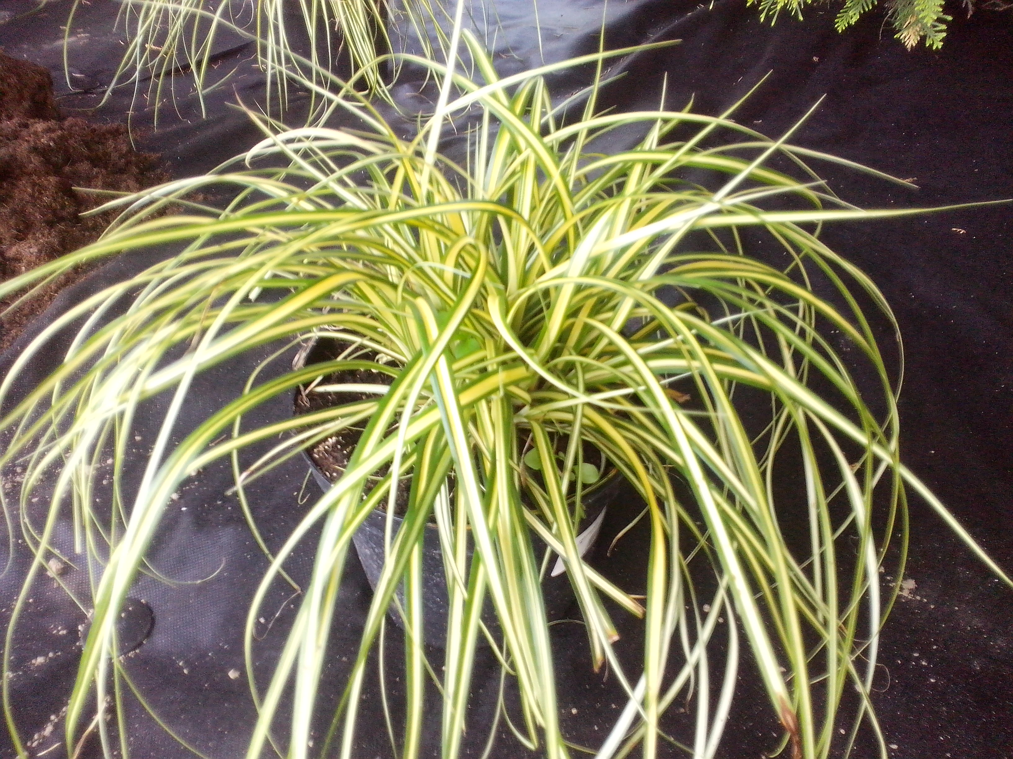 Japan-Gold-Segge (Carex oshimensis) 'Evergold'