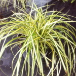 Japan-Gold-Segge (Carex oshimensis) 'Evergold'
