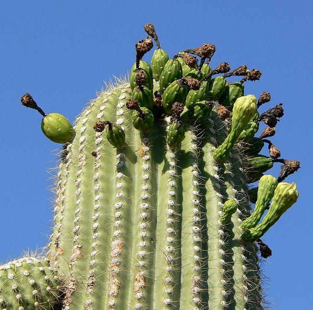 Riesenkaktus, Saguaro (Carnegiea gigantea)