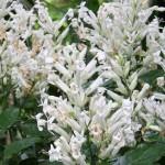 Whitfieldie (Whitfieldia lateritia)