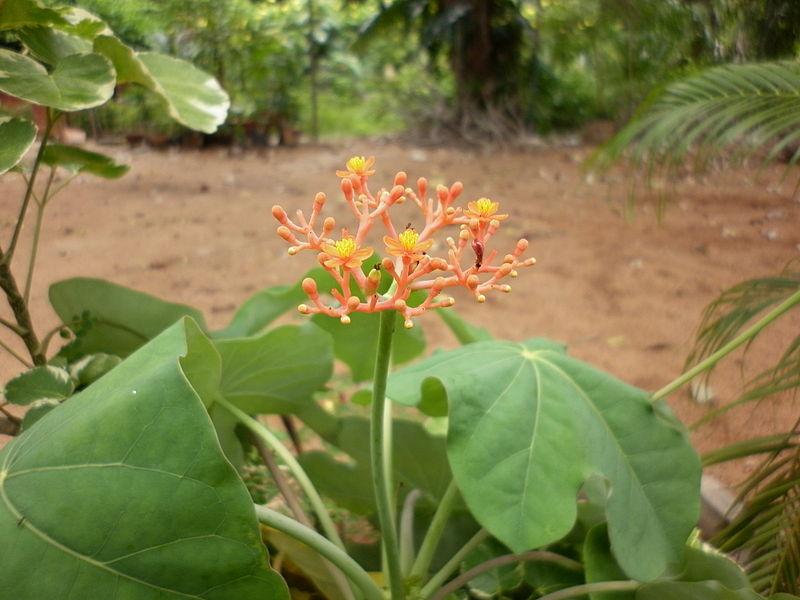 Flaschenpflanze (Jatropha podagrica)