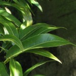 Glücksbaum (Brachychiton rupestris)