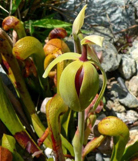 Kobralilie (Darlingtonia californica)
