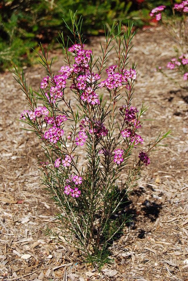 Wachsblume (Chamelaucium uncinatum)