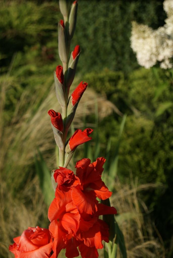 Gladiole (Gladiolus hybridus) 'Red Matador'