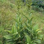 Grüner Germer (Veratrum lobelianum)